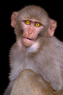 Young Rhesus Macaque - Paintover Effect by serenityphotography
