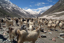 Sheep and Goats in Lahaul Valley by serenityphotography