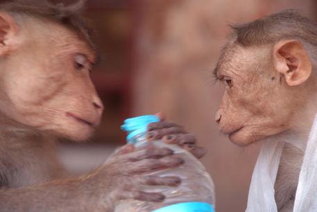 Cheeky-monkeys-opening-stolen-water-hampi-06