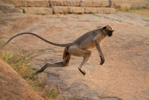 Langur-monkey-mid-leap-from-boulder