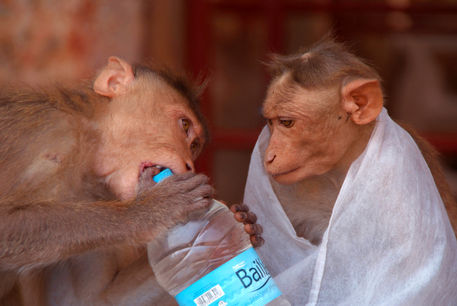 Cheeky-monkeys-opening-stolen-water-hampi-03