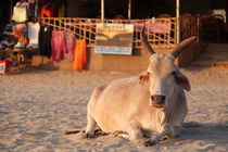 Bull on the Beach at Sunset Palolem by serenityphotography
