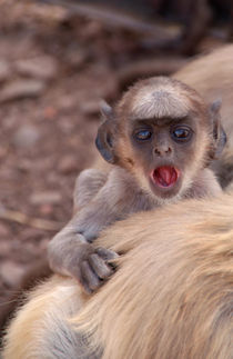 Baby Langur Monkey Ranthambore  by serenityphotography