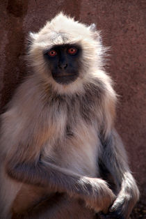 Langur Monkey at Ranthambore Fort by serenityphotography