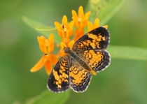 Pearl Crescent on Butterfly Weed Flowers 2 by Robert E. Alter / Reflections of Infinity, LLC