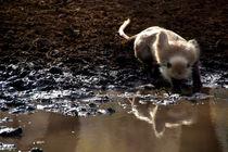 Langur-monkey-at-waterhole-ranthambore-03