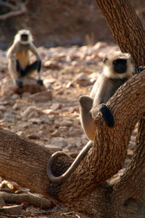 Langur Monkey in Tree Ranthambore by serenityphotography