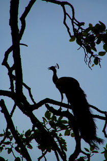 Silhouette of Peacock in Tree Ranthambore by serenityphotography