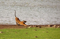 Tiger Stretching Ranthambore by serenityphotography