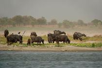 Water Buffalo on the Banks of the Ganges von serenityphotography