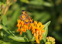 Pearl Crescent on Butterfly Weed Flowers 1 von Robert E. Alter / Reflections of Infinity, LLC
