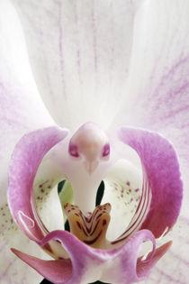 Phalaenopsis by Jens Berger