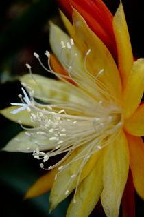 Kaktusblüte by Christine Bässler