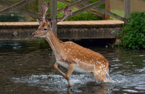 deer in water by deanmessengerphotography