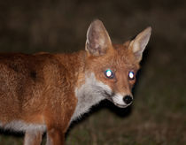 urban fox by deanmessengerphotography