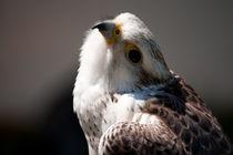 Lanner Falcon von deanmessengerphotography