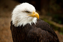 bald eagle by deanmessengerphotography