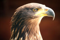 Taawny Eagle by deanmessengerphotography