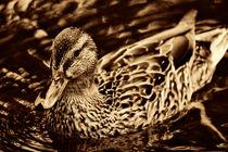 golden duck by deanmessengerphotography