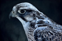 lanner falcon by deanmessengerphotography