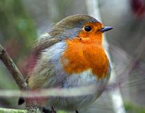 Robin Redbreast by deanmessengerphotography