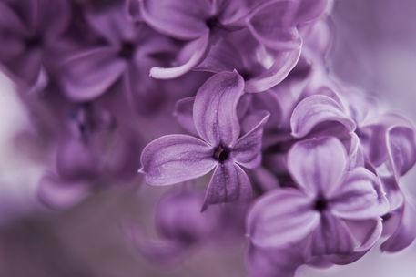 Lilac-ii