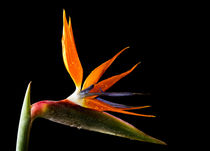 Bird Of Paradise Flower by Fiona Messenger