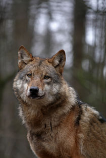 Wolf by Wolfgang Dufner