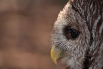 Barred Owl Profile by Dan Moore
