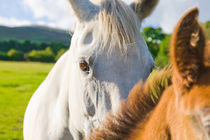 White roan mare with her chestnut foal by kbhsphoto
