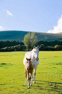 A roan mare with her chestnut foal in a field von kbhsphoto