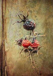 Wildrose (Hagebutten) by Bernhard Kosten