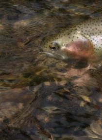 Fish-face-brox-216