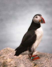 Atlantic Puffin, Tagged von Debra  Carr Brox