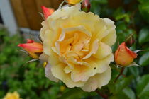 garden rose with buds von linda jane cook