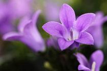 Blüten violett von timbo210