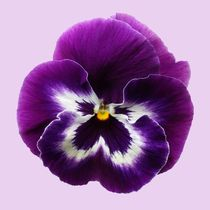 Gedc0154-purple-pansy-crop