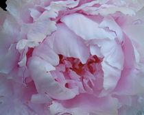 Pure Pink Peony von Debra  Carr Brox