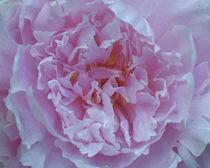 Sweet Pink Peony by Debra  Carr Brox