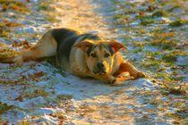 Hund, Schäferhund, Puppy von WaciE. Photography