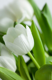 Weiße Tulpen by Nailia Schwarz