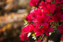 Rosa Blume von Thomas Train