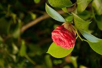 Rose by Thomas Train