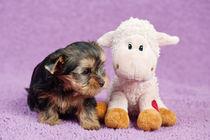 Yorkshire terrier puppy von holka