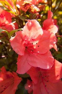 Rosane Blume von Thomas Train
