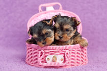 Yorkshire terrier puppies von holka