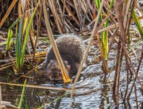 Water Vole by Graham Prentice