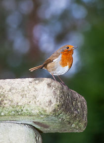 Robin on Birdbath von Graham Prentice