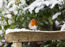 Robin On Snowy Bench by Graham Prentice