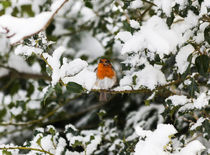 Robin Perched On Snowy Holly Branch by Graham Prentice
